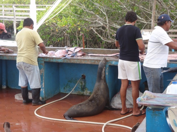 This sea lion had no free as most animals here don't free man.