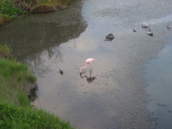 Picture of a Pink Flamingo  in the Flamingo Lagoon