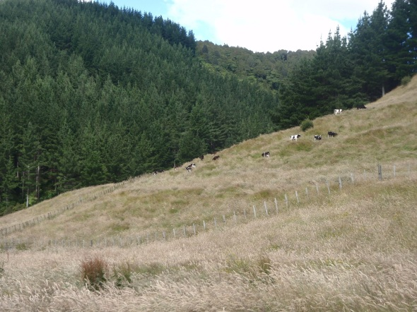 Starting out hiking through the sheep and cow pasture up into the mountains