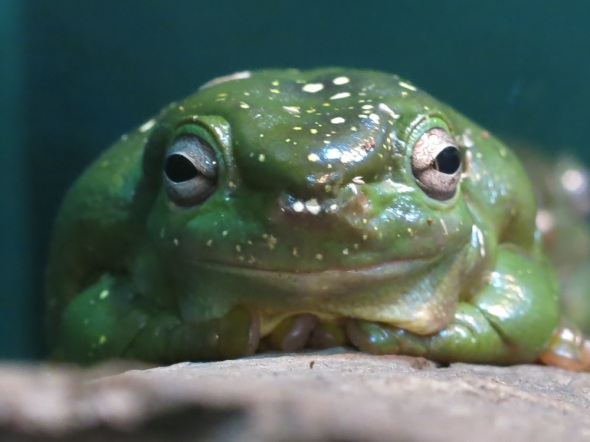 Just a OZ frog