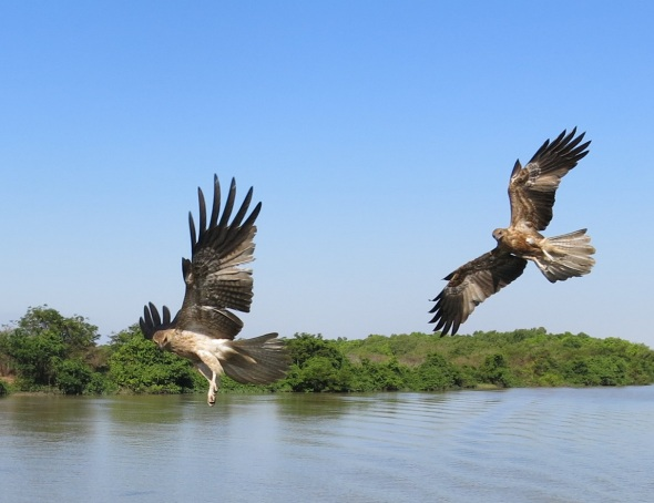 My beloved Kite birds, I love these guys. They are true beauty in the most real form.