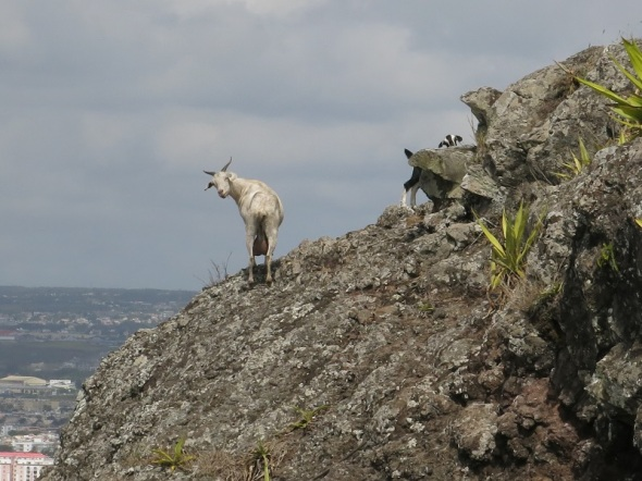 About a third of the way up I cought a goat hiking up the mountain with her young. She was a bit surprized.